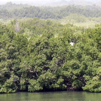 Mangrove et oiseau