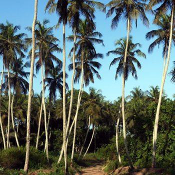 Palmiers, Sassandra