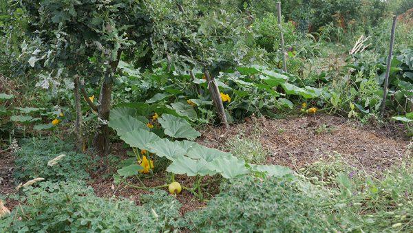 Courges permaculture Pature es Chênes
