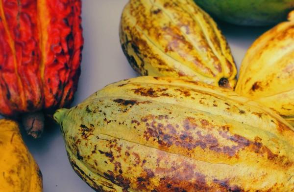 Cacao pour crème hydratante au chocolat